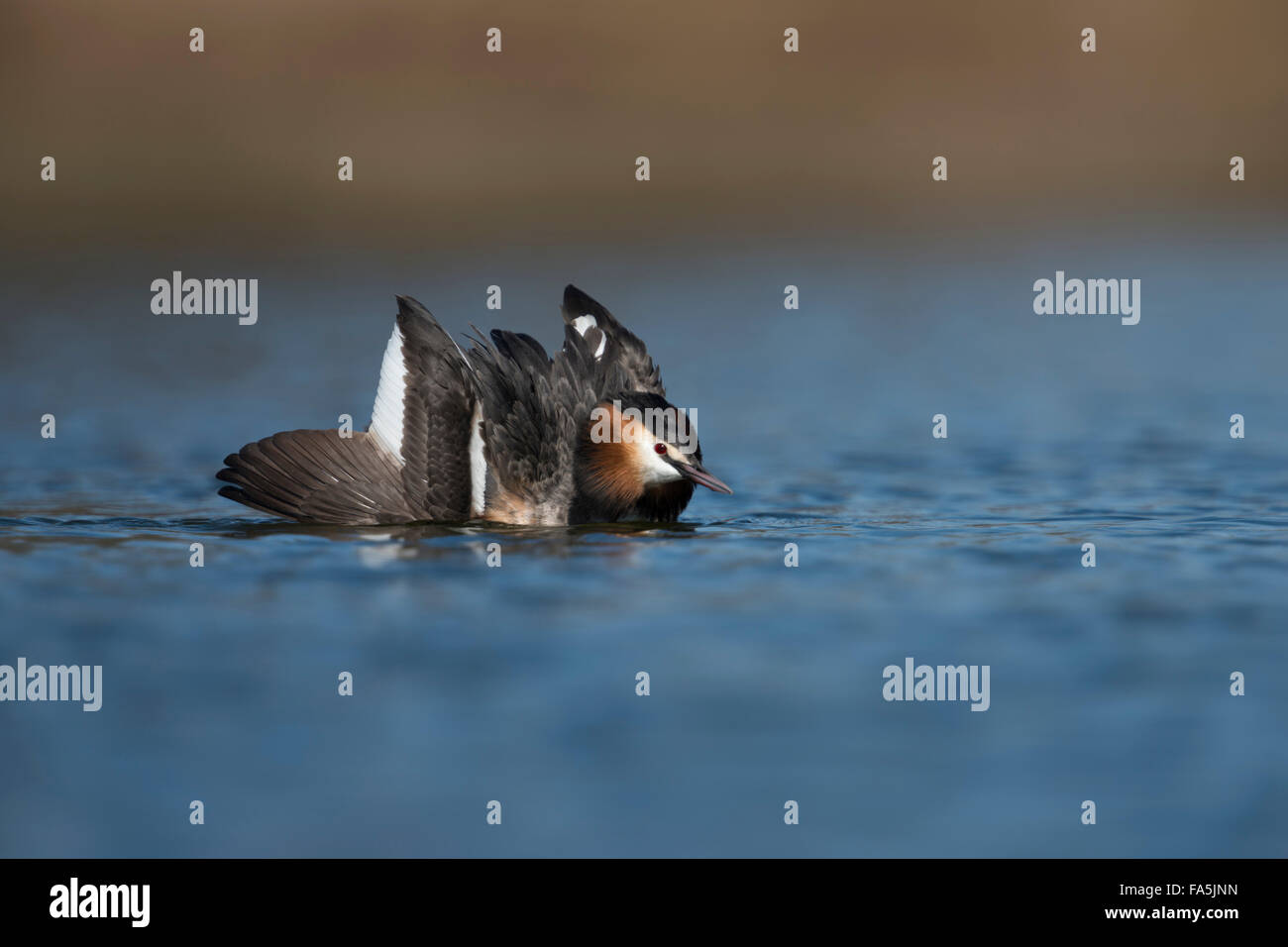 Great Crested Grebe / Great crestie / Haubentaucher ( Podiceps cristatus ) shows cat display, courtship display. - Stock Image