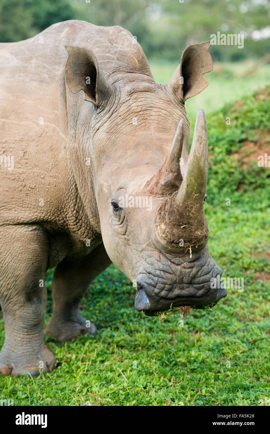 White rhinoceros (Ceratotherium simum), Ziwa Rhino Sanctuary, Uganda - Stock Image