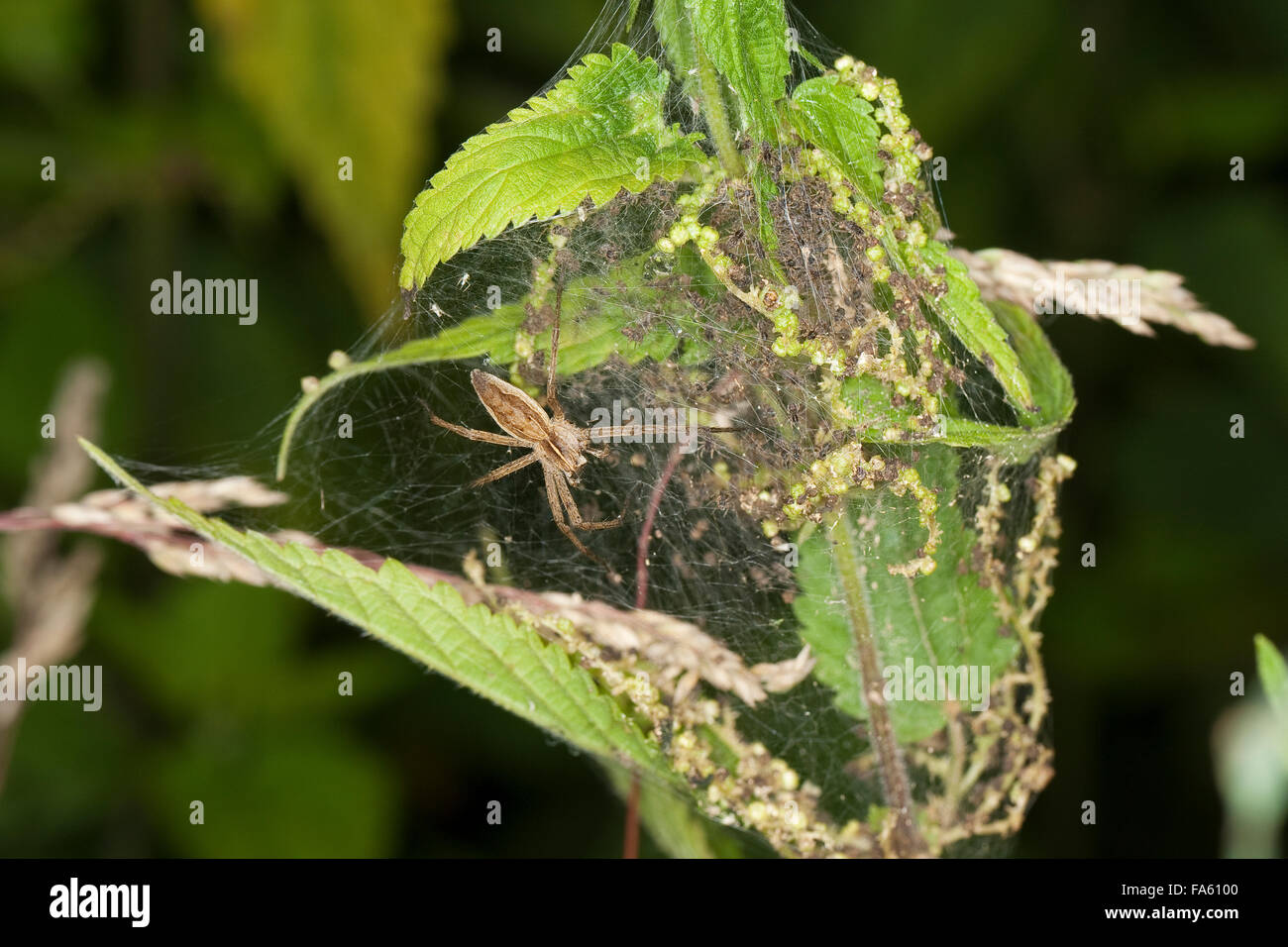 Fantastic fishing spider, Nursery web spider, Listspinne, List-Spinne, Raubspinne, Brautgeschenkspinne, Pisaura - Stock Image