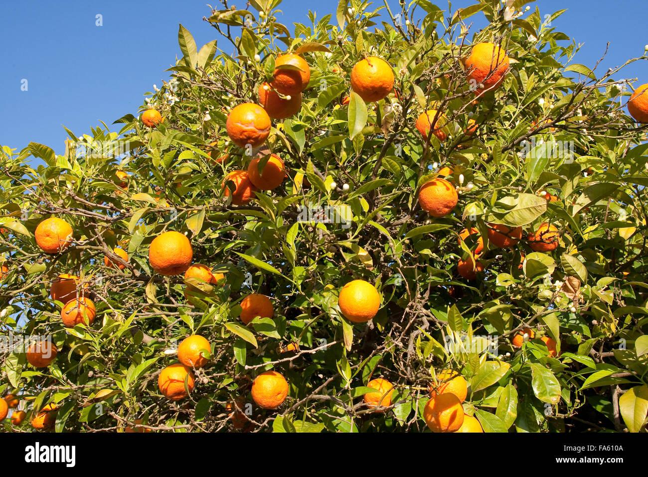Common Mandarin, fruit, Gewöhnliche Mandarine, reife Früchte und Blüten am Baum, Frucht, Citrus reticulata, - Stock Image