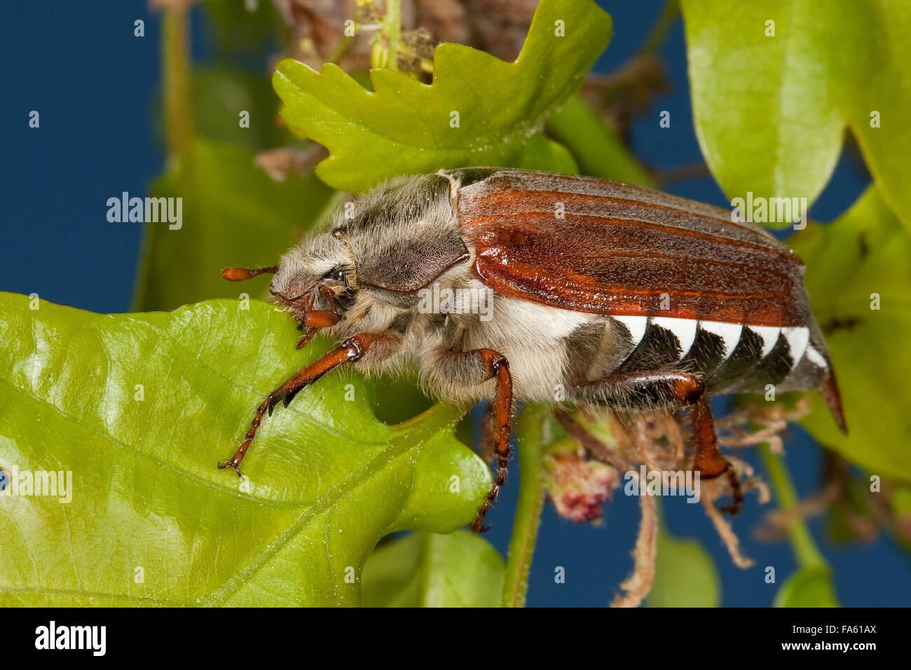 Maybeetle, may-beetle, common cockchafer, maybug, Maikäfer, Feld-Maikäfer, Feldmaikäfer, Mai-Käfer, Melolontha melolontha Stock Photo