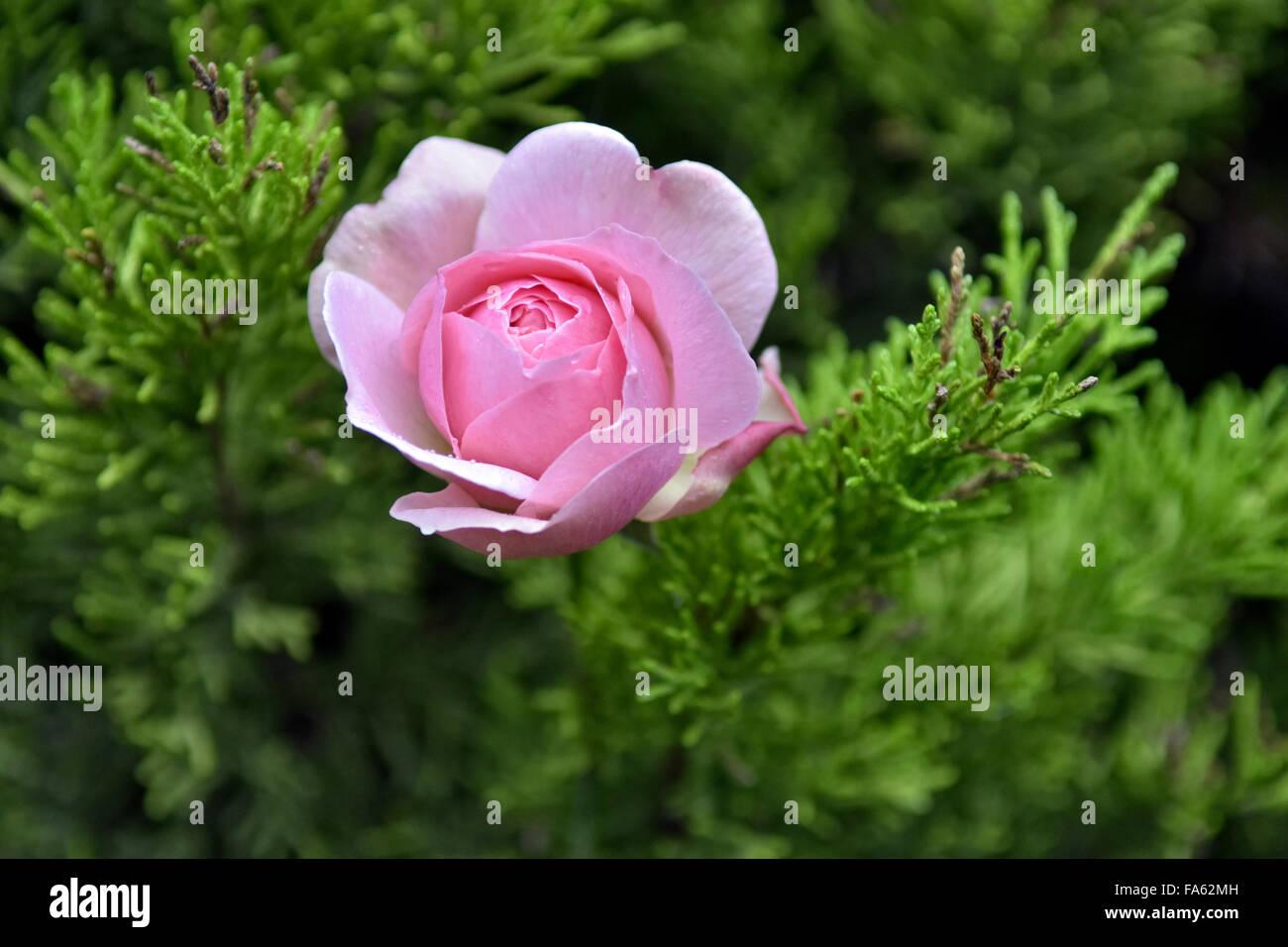 Bristol, UK. 22nd Dec, 2015. Pink rose still flowering in an unusually warm December winter.  Taken 22nd December, - Stock Image