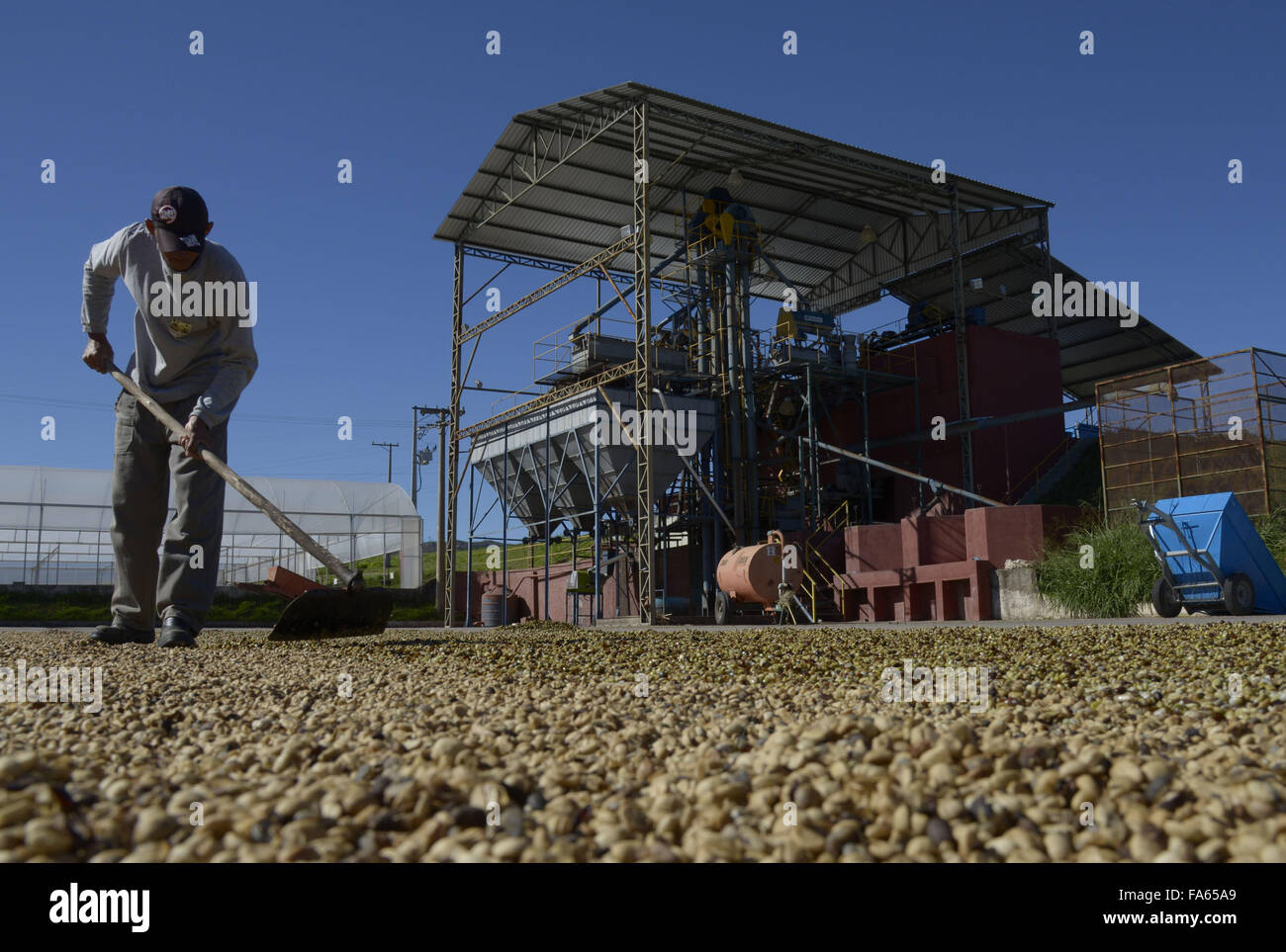Worker spreads coffee beans drying in farm yard - Stock Image