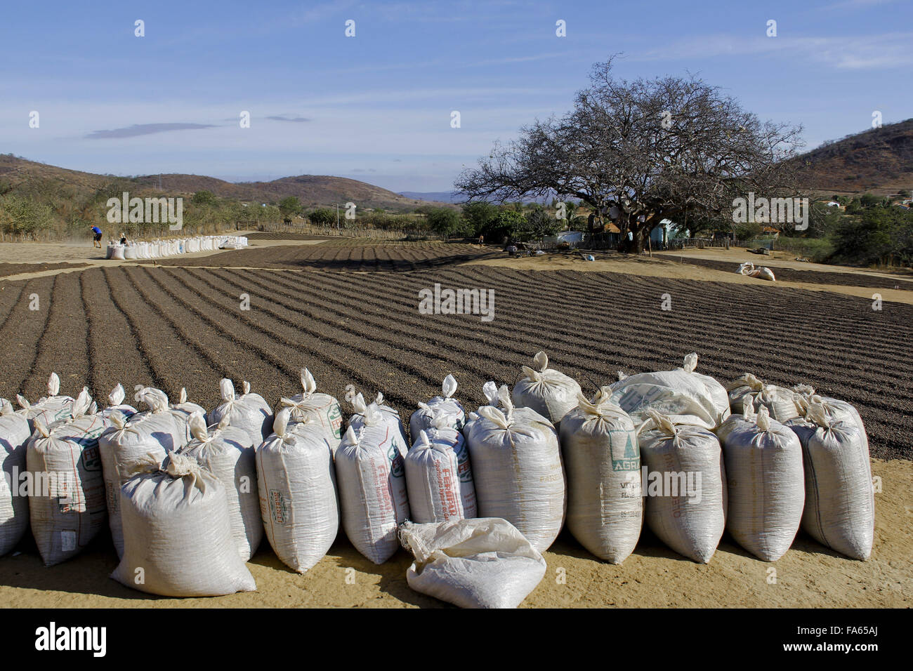 Sacks and yard with drying cafe through the savanna in the Bahian backlands - Stock Image