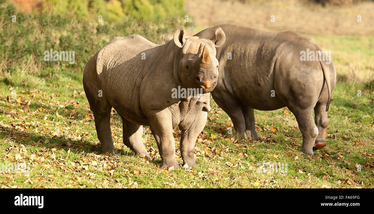 photo of a pair of Black rhinos in the sun shine - Stock Image