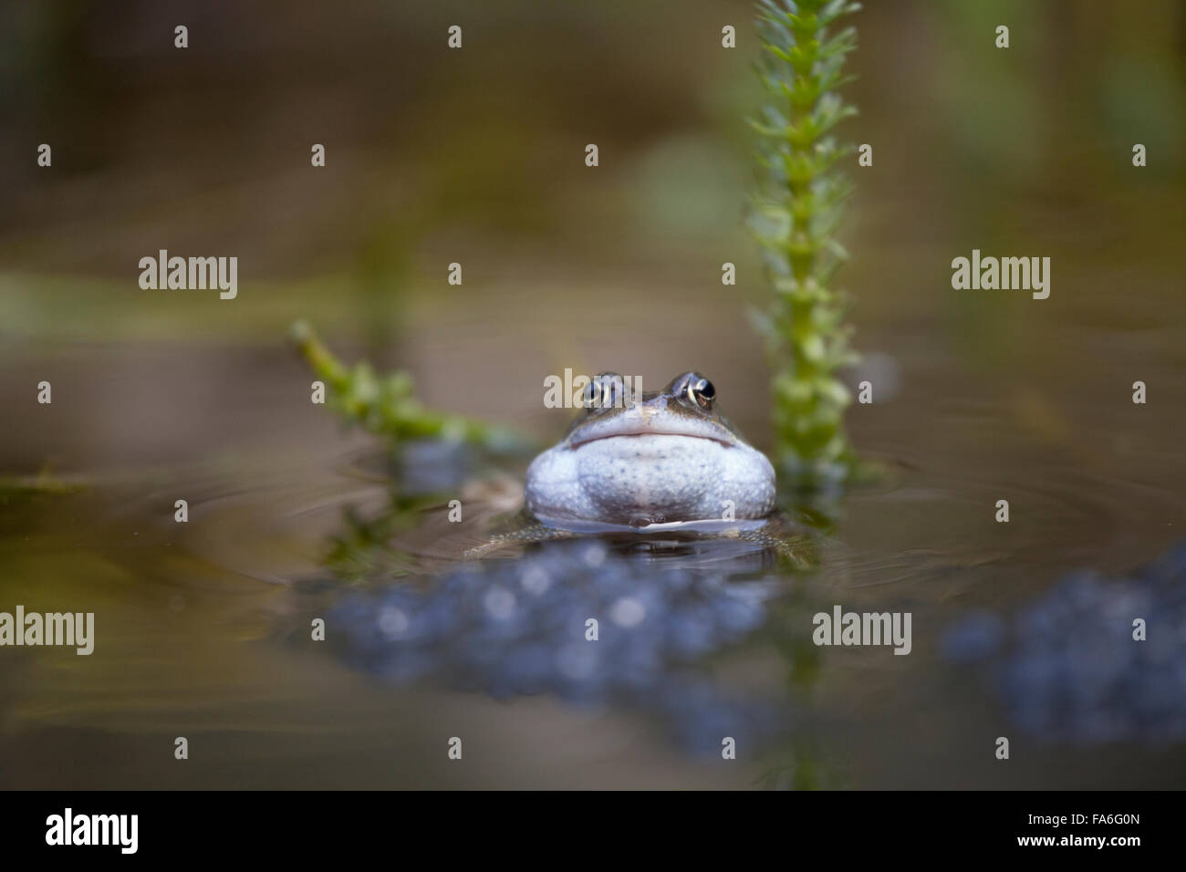 Common frog (Rana temporaria) croaking in a garden pond - Stock Image