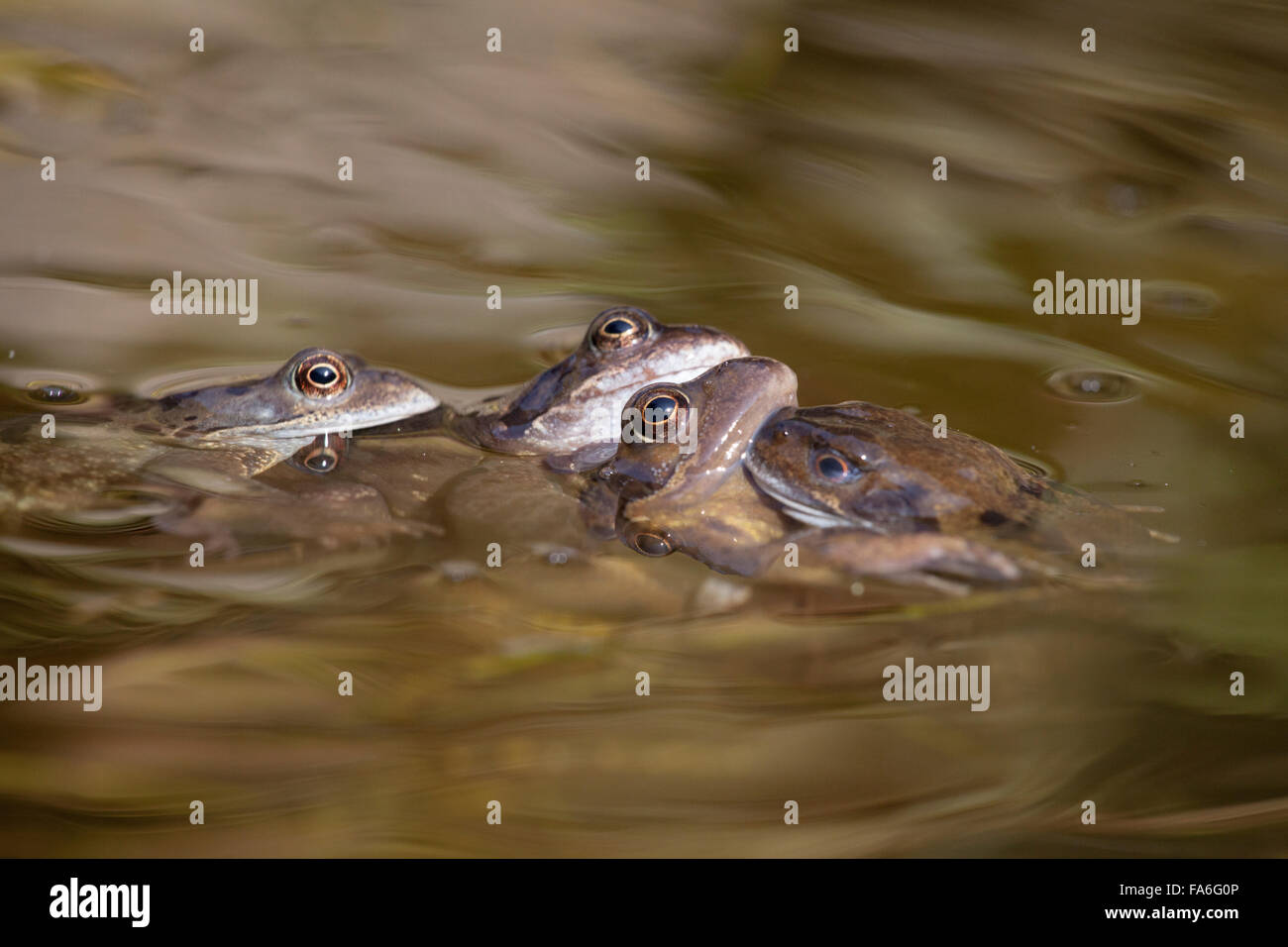 Common frogs (Rana temporaria) mating in a garden pond - Stock Image