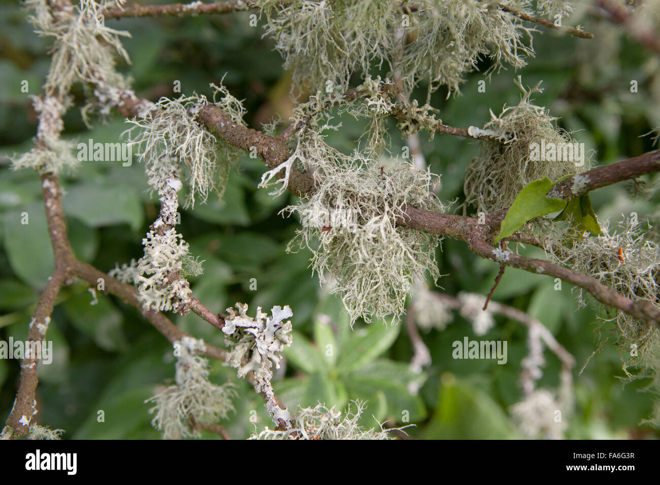 Nitrogen sensitive lichens grow on a tree in the English Lake District - Stock Image