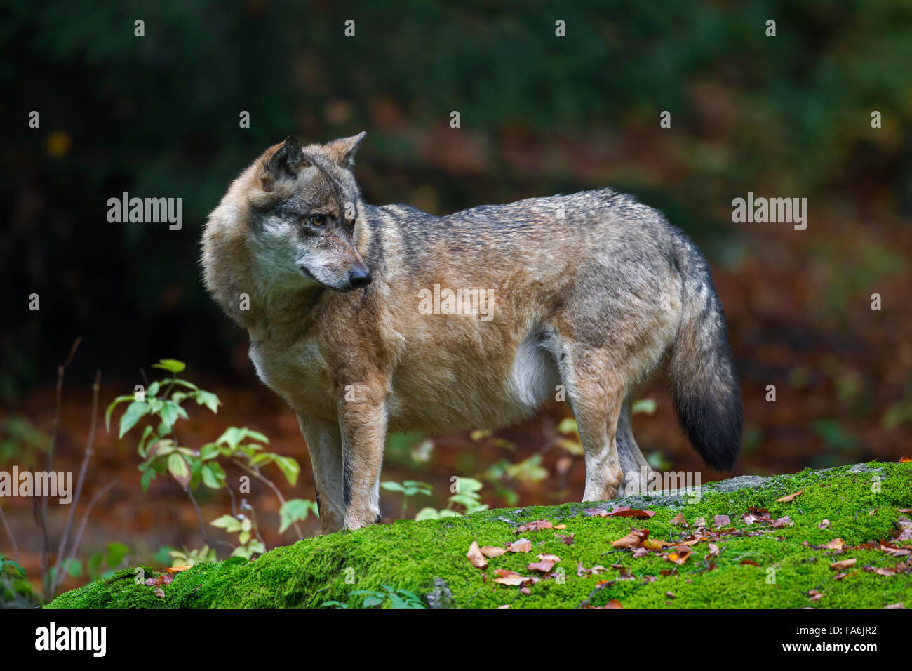 Well-fed European grey wolf (Canis lupus) with fat belly in autumn forest - Stock Image