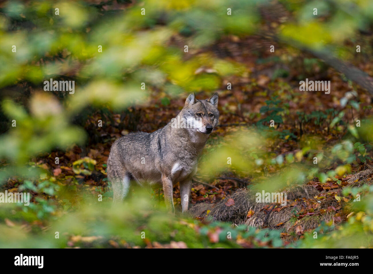 European grey wolf (Canis lupus) in autumn forest seen through foliage of undergrowth Stock Photo