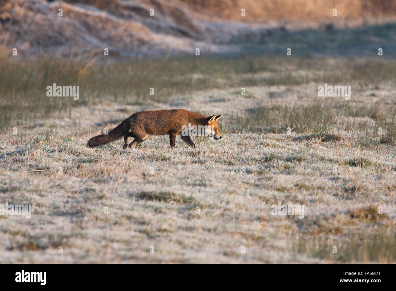 Red Fox hunting on frost covered ground - Stock Image