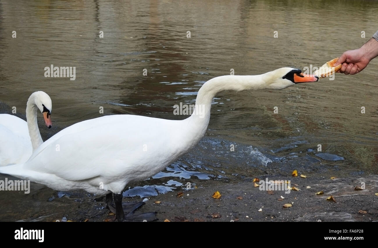 Mute swan eatin...