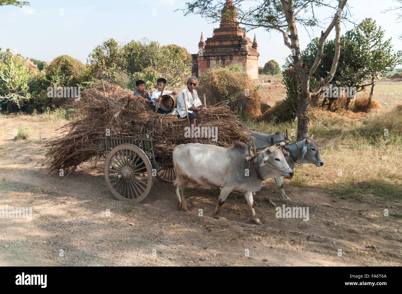 Farmer on an oxcart full of straw drawn by two Zebu oxen in Nyaung-U/Bagan, Mandalay region, Myanmar. - Stock Image