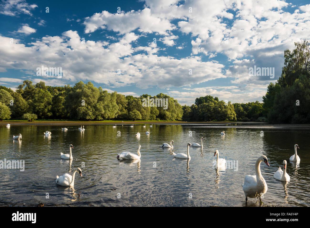 Swans (Cygnus sp.), Delta de la Sauer, nature reserve between Munchhausen and Seltz, Alsace, Bas-Rhin, France - Stock Image
