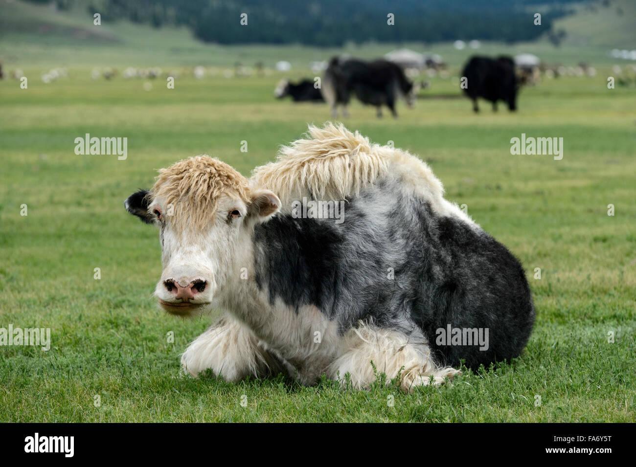 Black White yak (Bos mutus), Orkhon Valley, Khangai Nuruu National Park, Övörkhangai Aimag, Mongolia - Stock Image