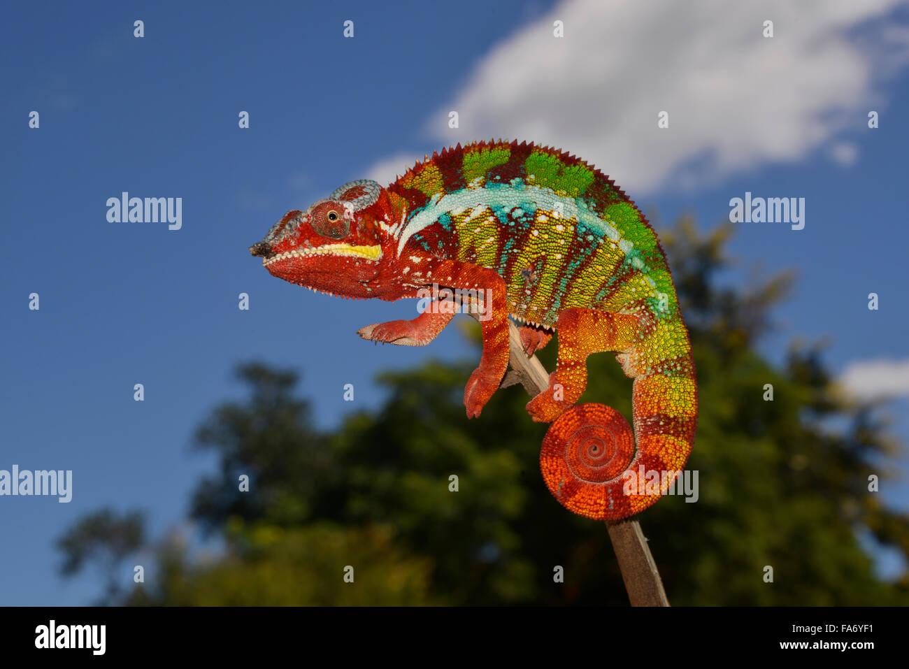 Panther chameleon (Furcifer pardalis), local form Ambanja, West Madagascar - Stock Image