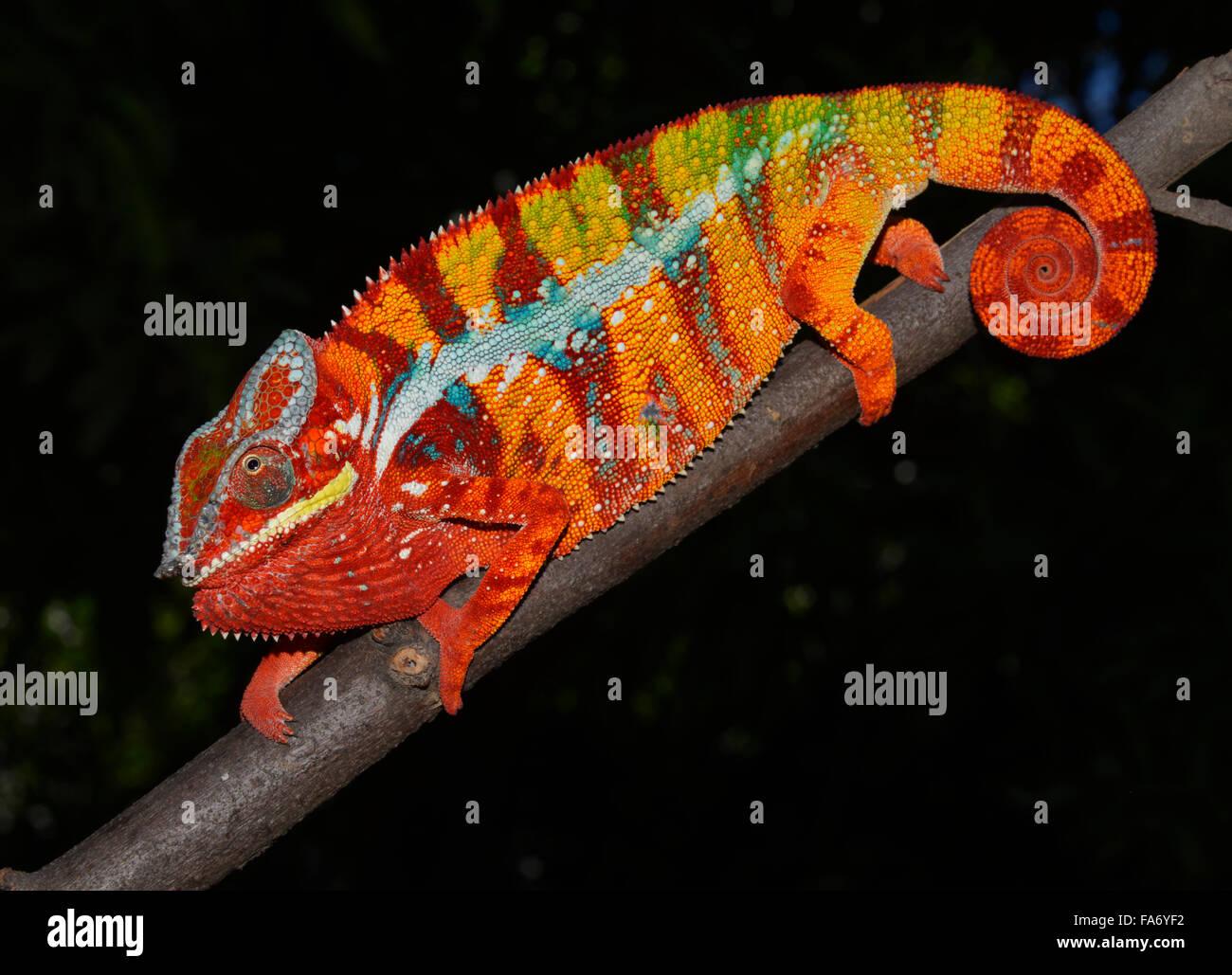 Panther chameleon (Furcifer pardalis), local form Ambilobe, West Madagascar - Stock Image