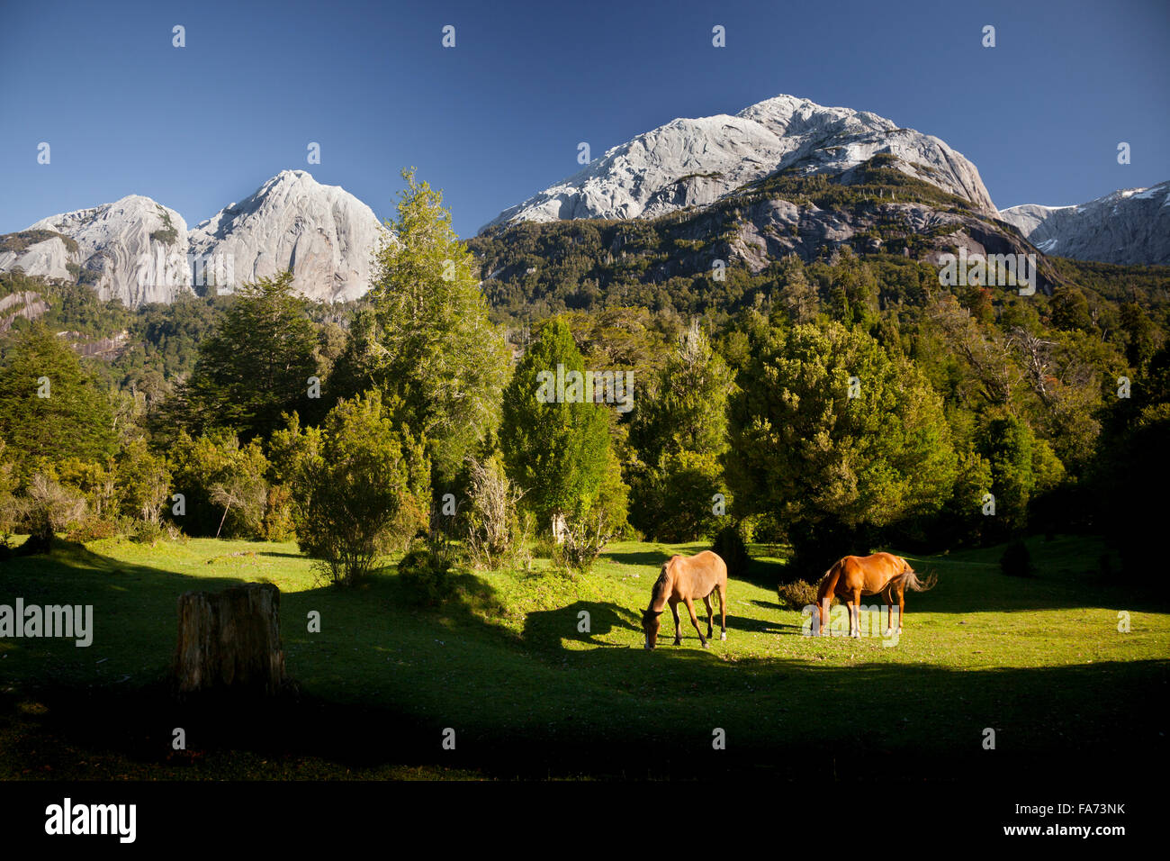 Horses of local 'arrieros' (muleskinners) graze in a small pampas in Cochamó Valley in Chile's - Stock Image