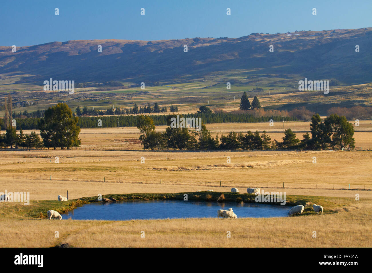 Sheep and irrigation pond, Maniototo, Central Otago, South Island, New Zealand - Stock Image