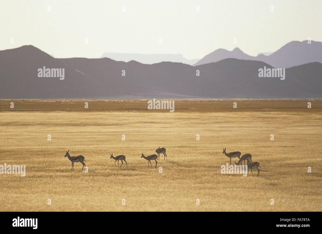 Namibia, Namib-Naukluft National park, Sesriem, group of springboks// Namibie, Namib-Naukluft National park, Sesriem, - Stock Image