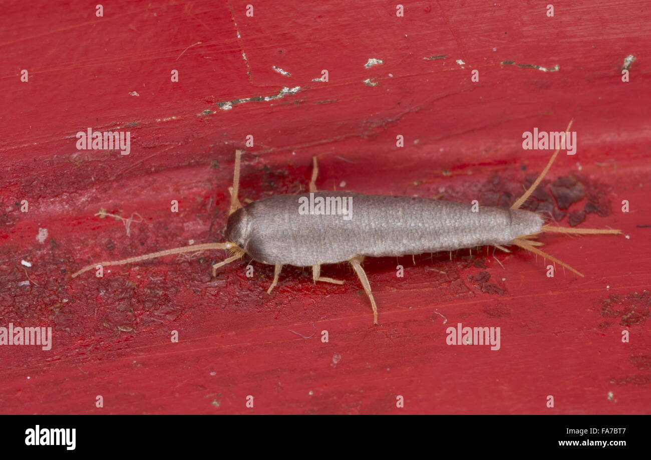 A silverfish, Lepisma saccharina, in domestic kitchen. - Stock Image