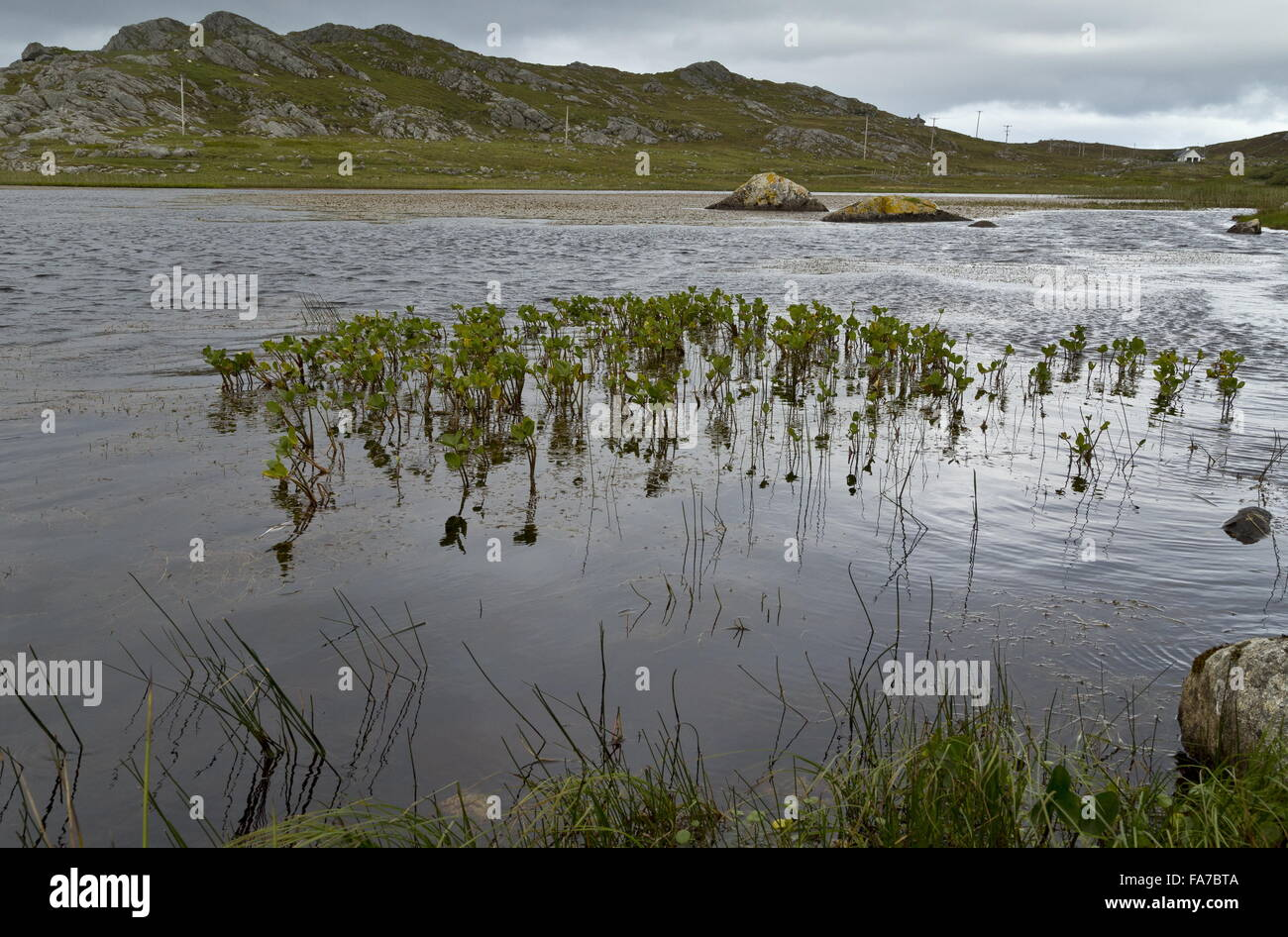 Bogbean growing in Loch Ballyhaugh, the island of Coll, Inner Hebrides, Scotland. - Stock Image