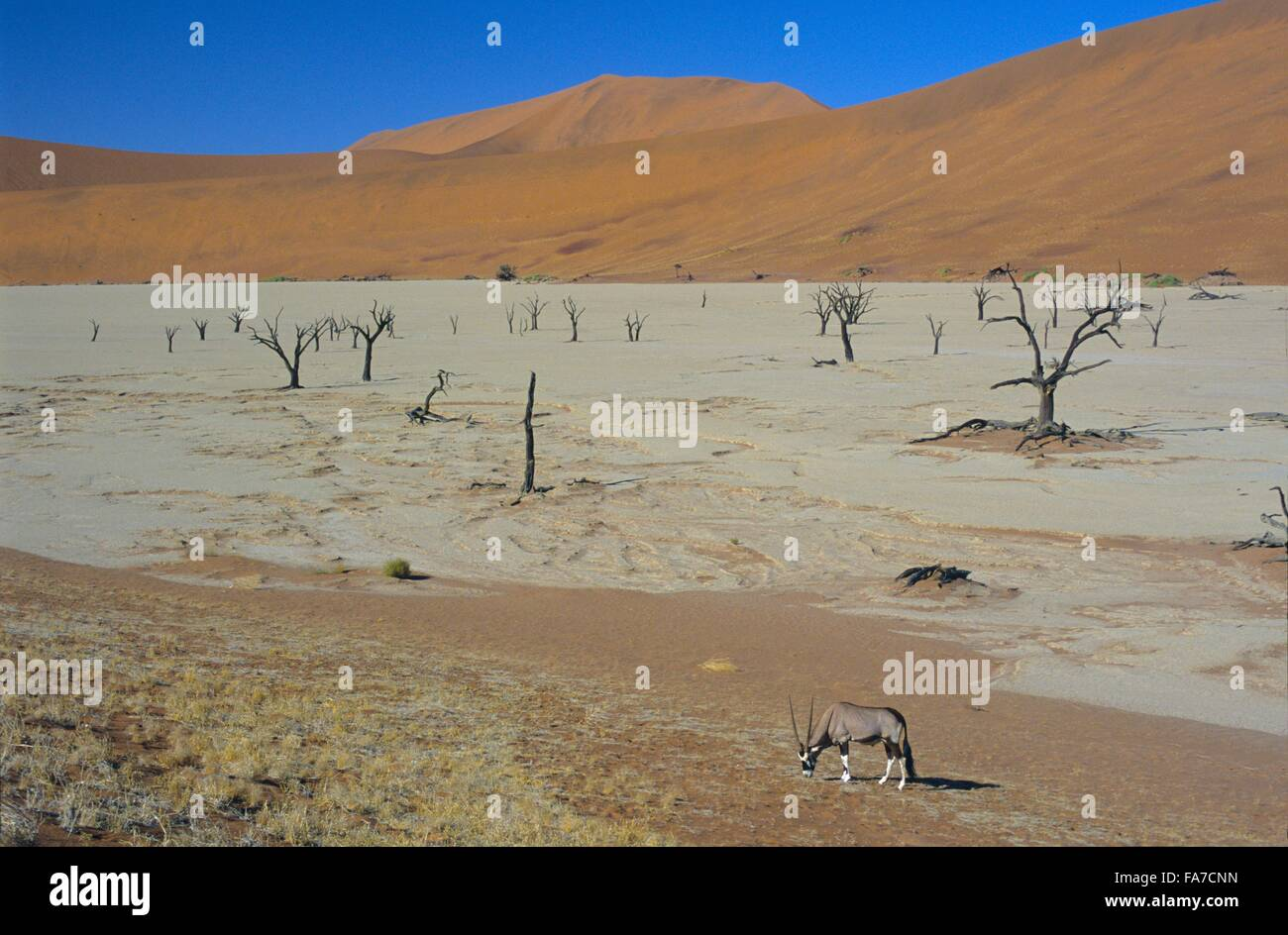 Namibia, Namib-Naukluft National park, Sossusvlei, Dead vlei and gemsbok (oryx gazella) // Namibie, Namib-Naukluft Stock Photo