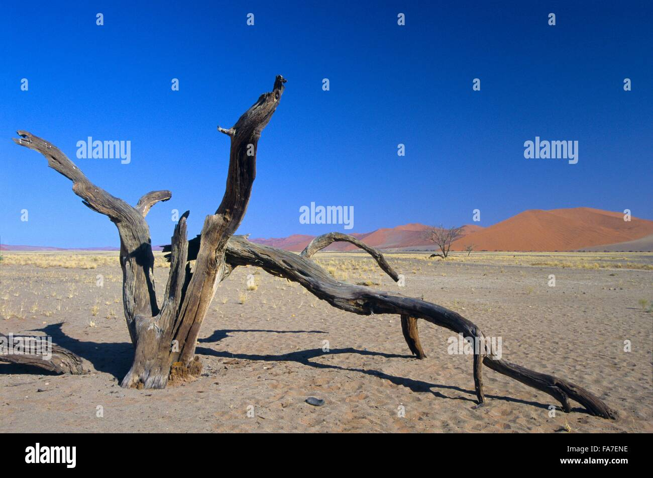Namibia, Namib-Naukluft National park, Sesriem, near dune 45, dead acacia tree // Namibie, Namib-Naukluft National - Stock Image