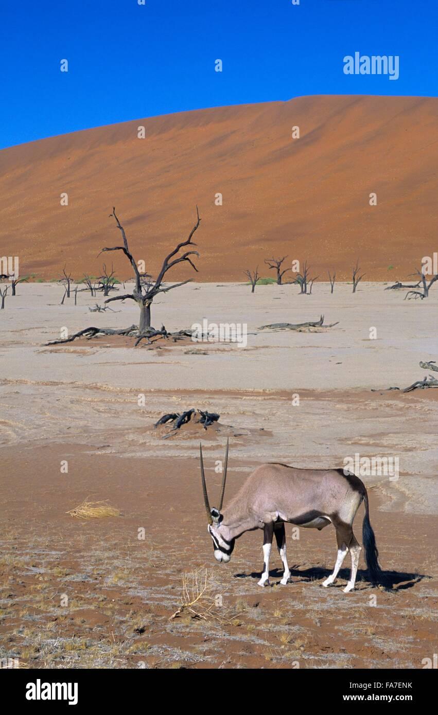 Namibia, Namib-Naukluft National park, Sossusvlei, Dead vlei and gemsbok (oryx gazella) // Namibie, Namib-Naukluft Stock Photo