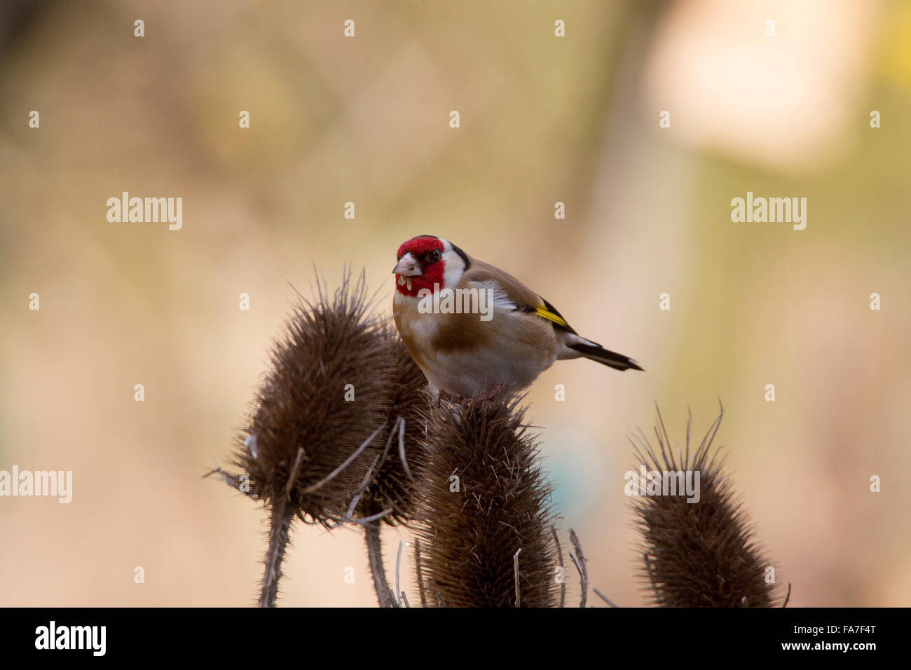 Goldfinch (Carduelis carduelis) at a silver thistle - Stock Image