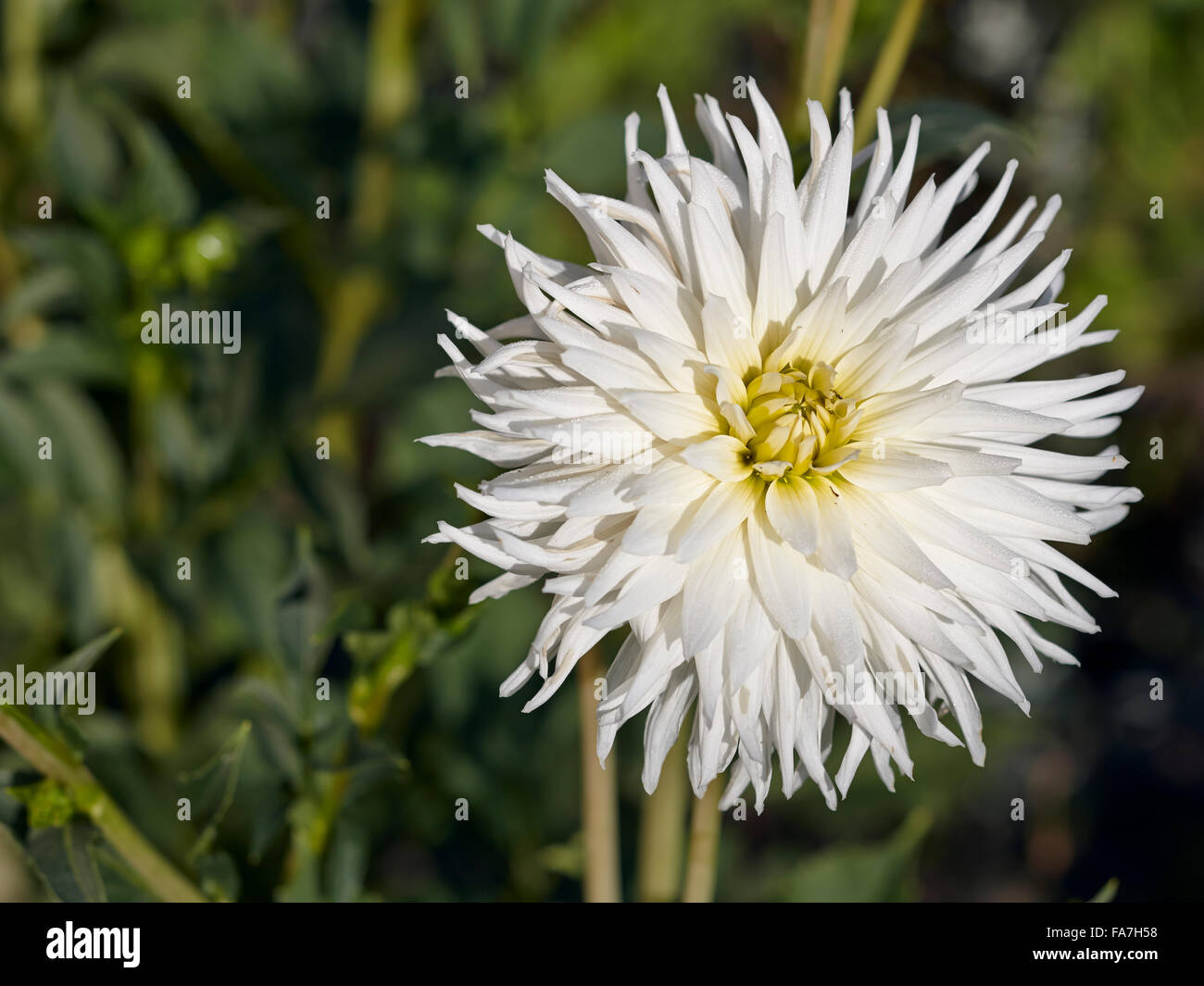 Big white flower petals stock photos big white flower petals stock dahlia flower close up stock image mightylinksfo