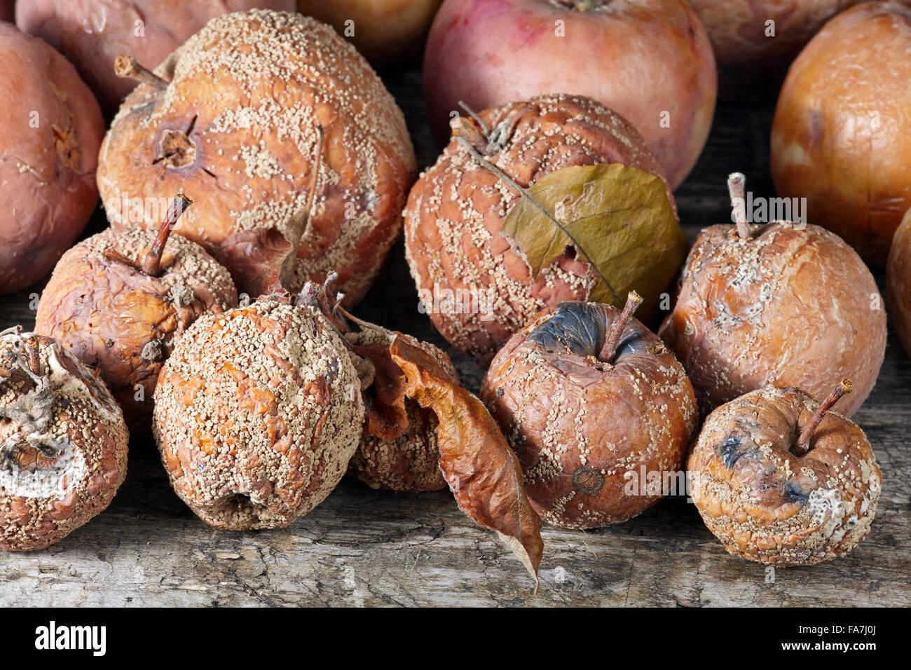 Rotten apples. Scientific name: Malus domestica. - Stock Image
