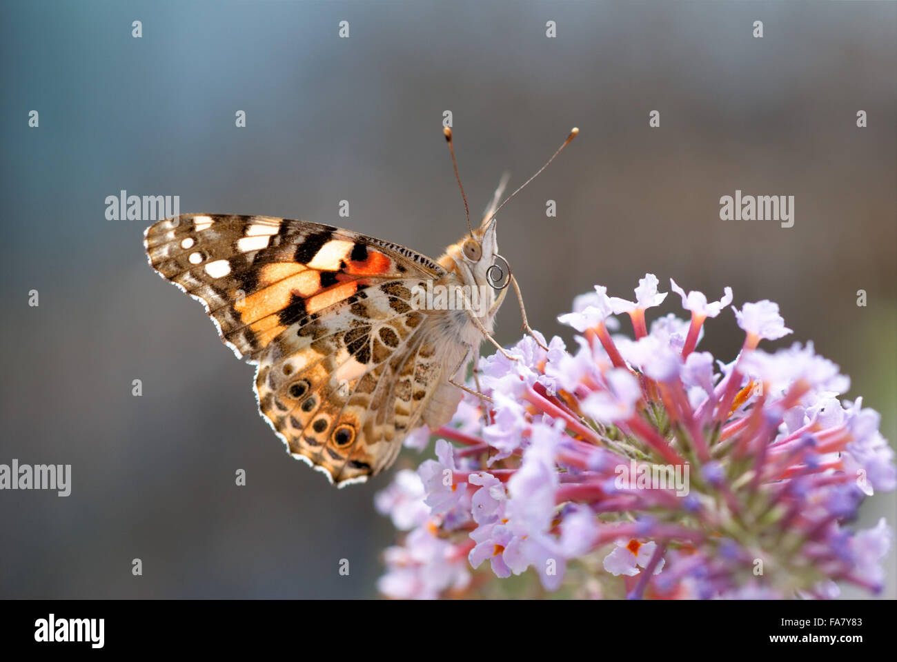Butterfly showing his tongue in soft light - Stock Image