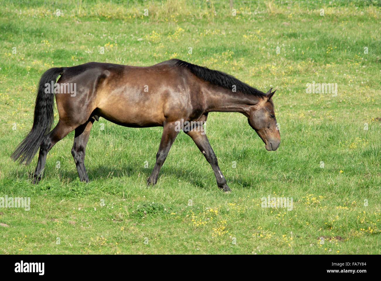 Brown stallion walking in a field - Stock Image