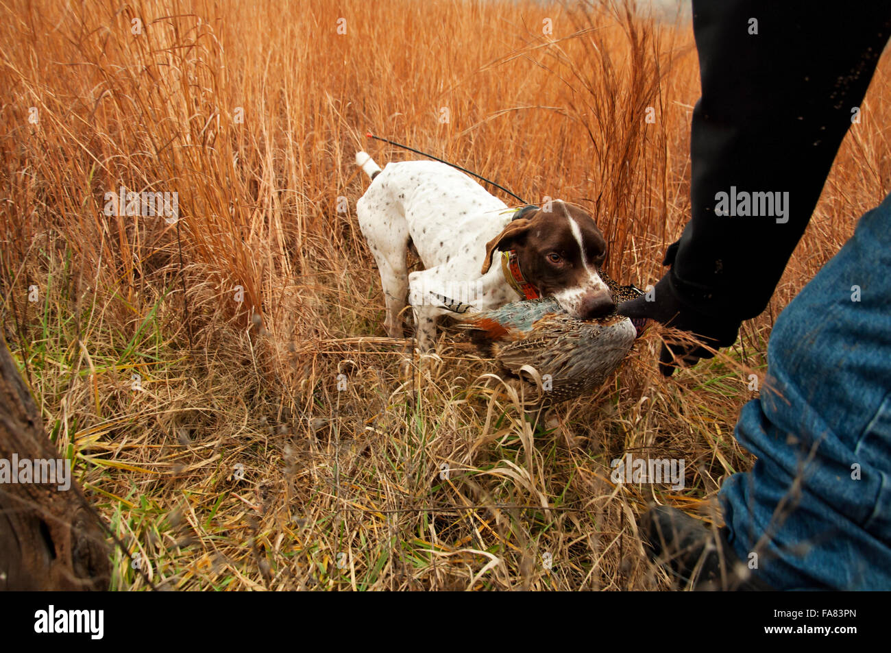 Trained German shorthair dog retrieves pheasant - Stock Image