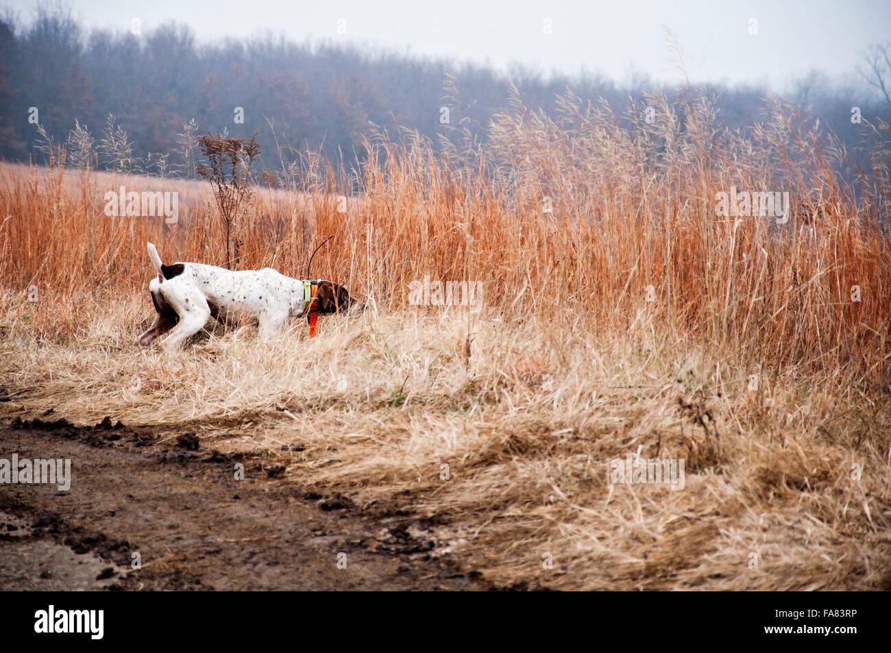 Trained German Shorthair bird dog on point - Stock Image