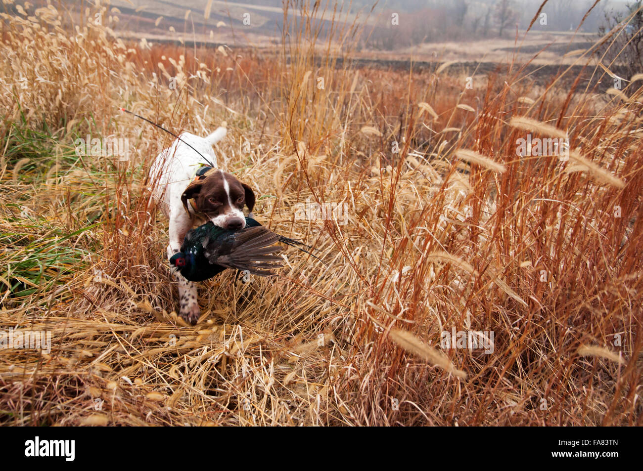 German Shorthair dog retrieves pheasant - Stock Image