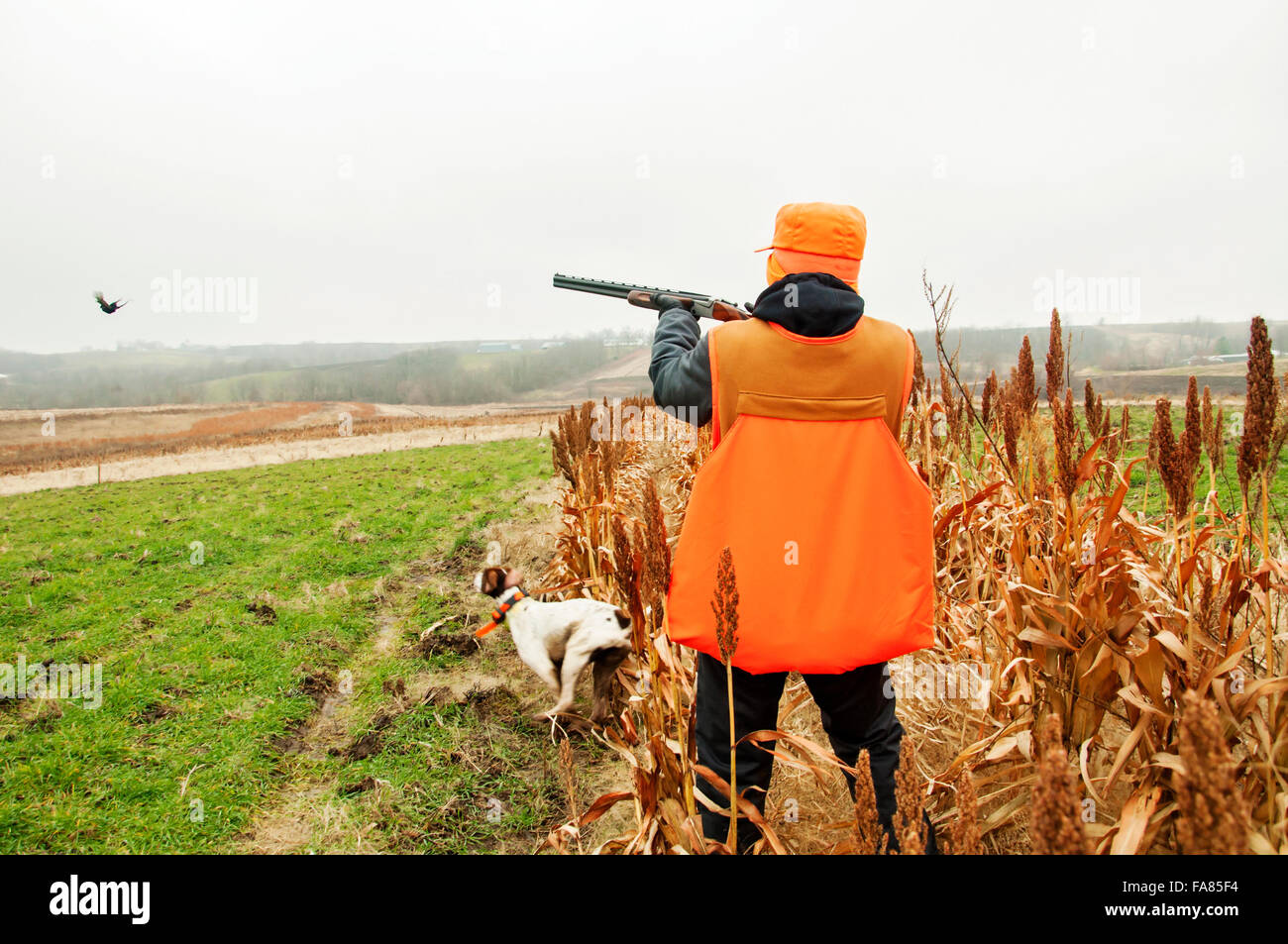 Bird hunter shooting pheasant German shorthair dog retrieves - Stock Image