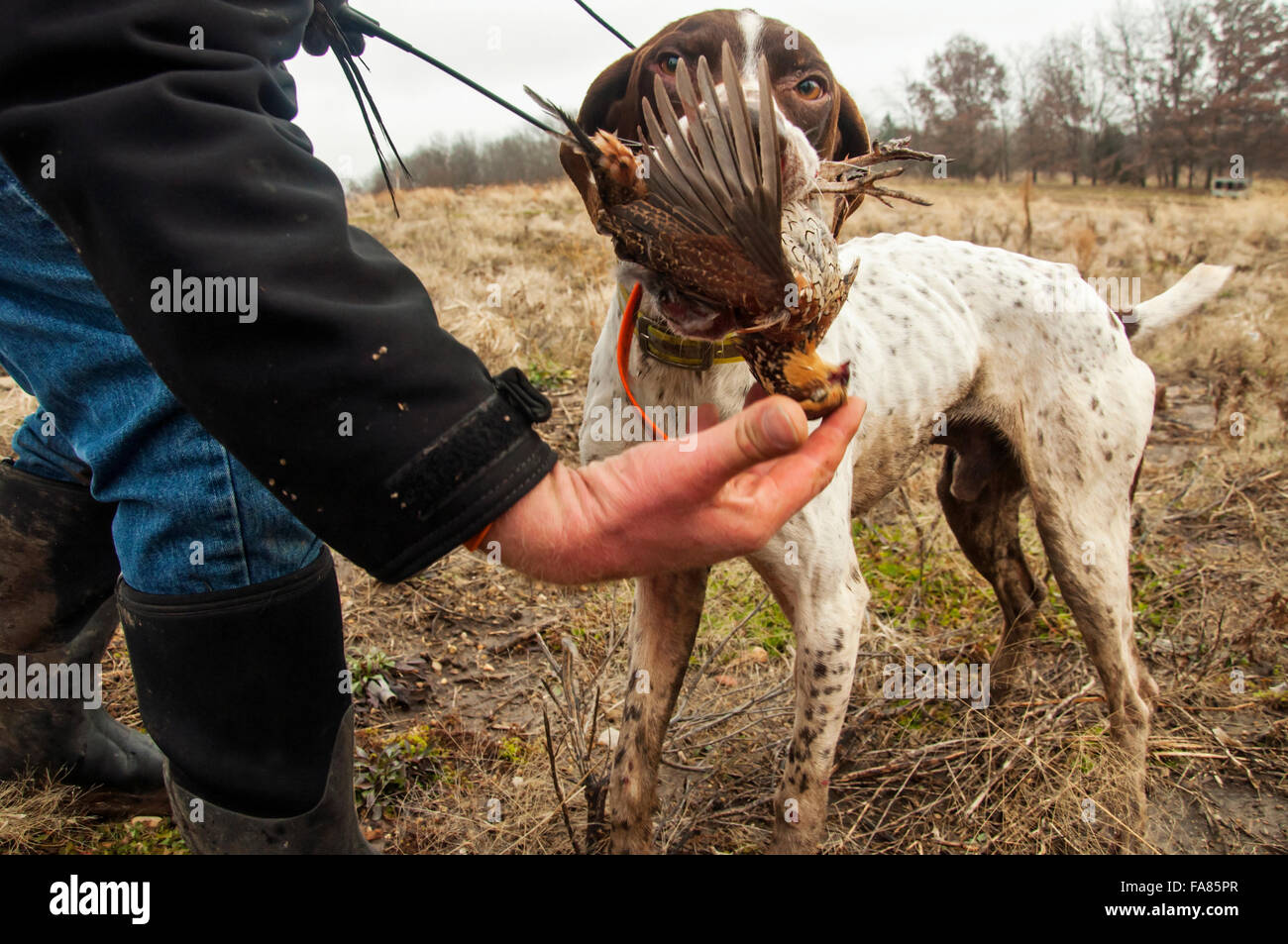 German Shorthair retrieves quail - Stock Image