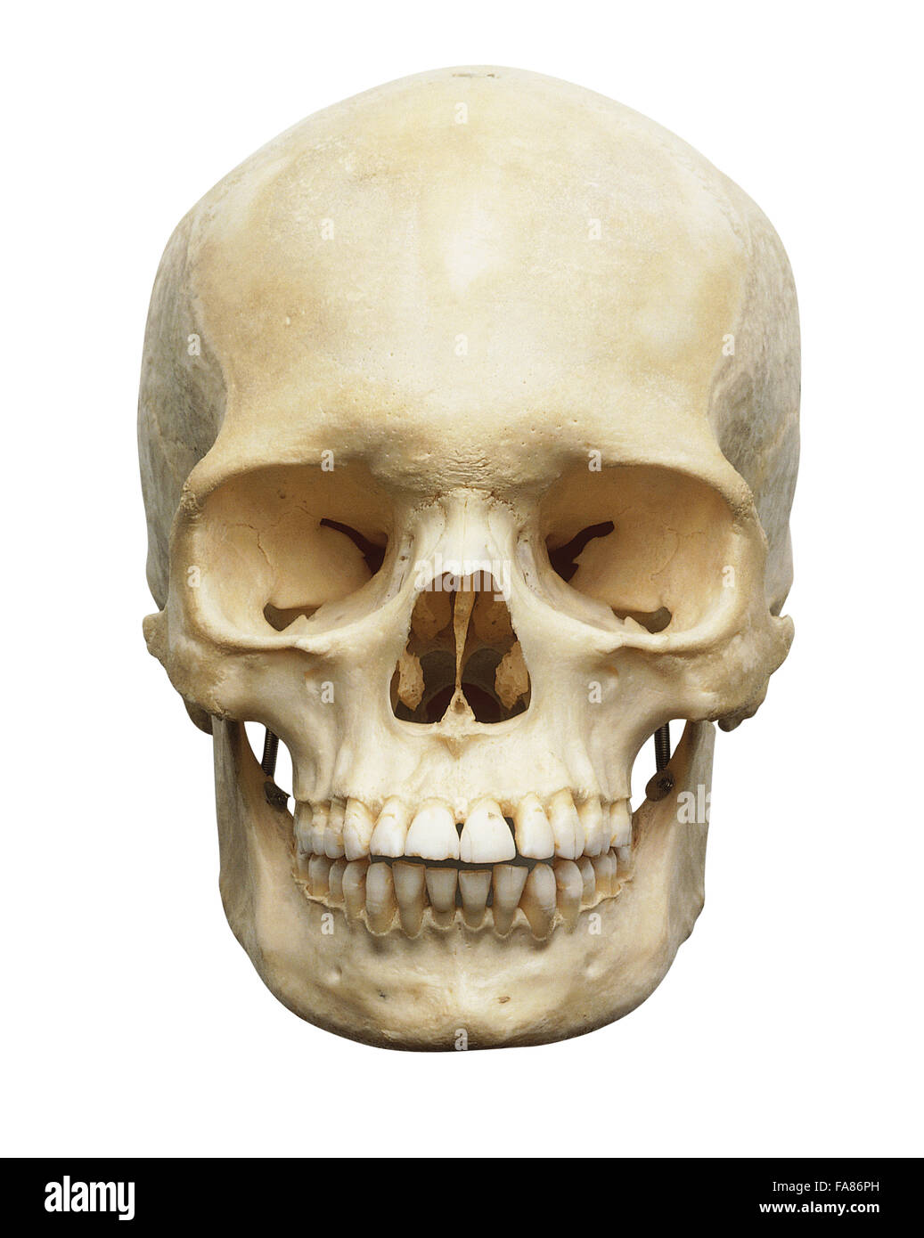 Human skull, front view Stock Photo