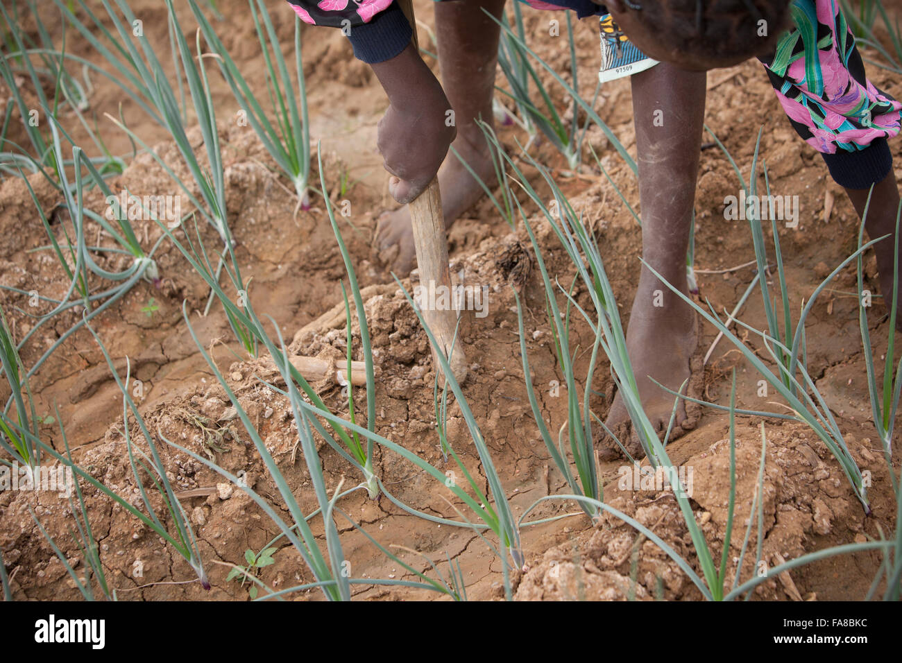 Onion farmers work the fields in Sourou Province, Boucle de Mouhoun Region, Burkina Faso, Africa. - Stock Image