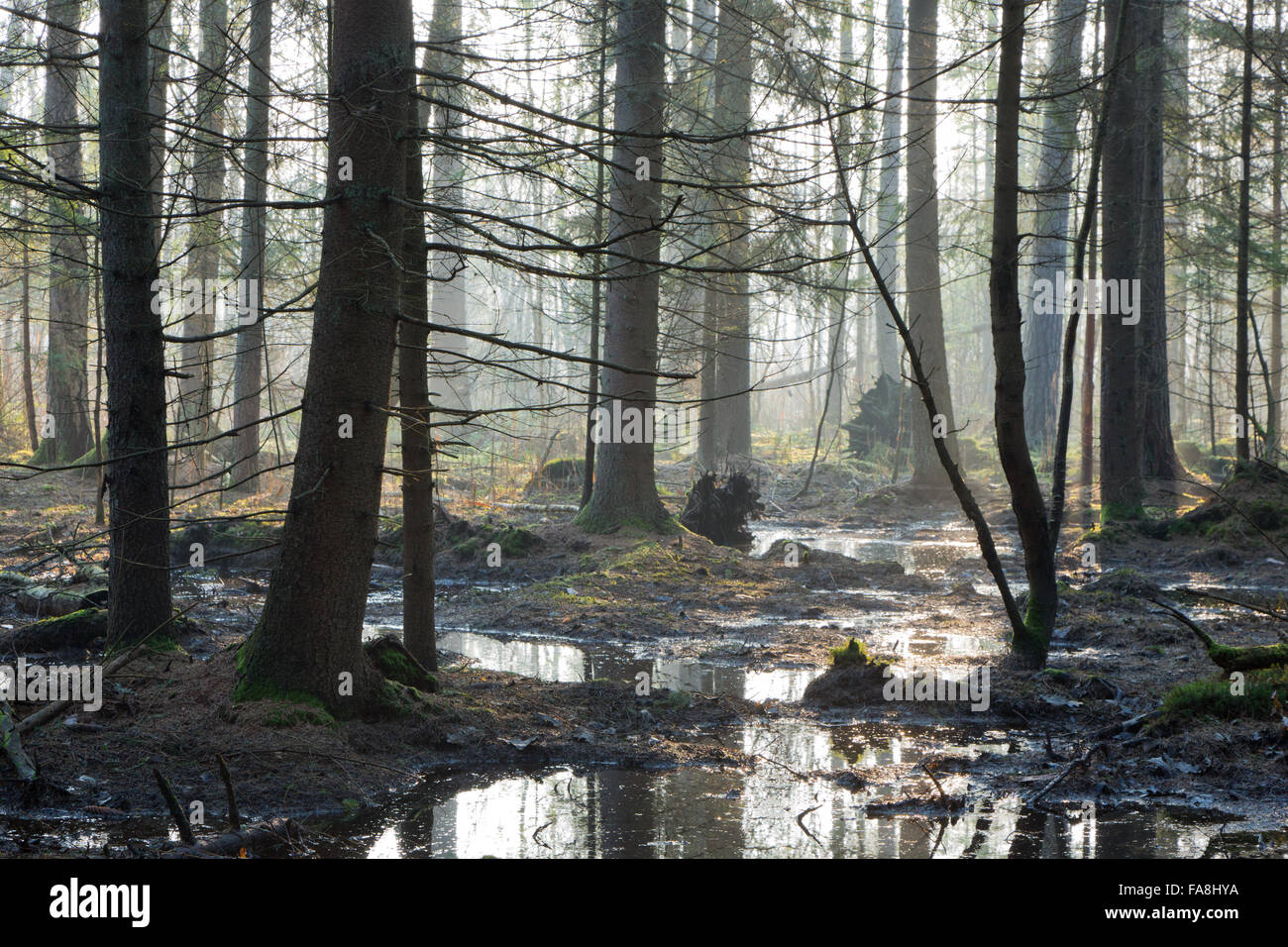 Coniferous stand of Bialowieza Forest in morning with pine and spruce,Bialowieza Forest,Poland,Europe - Stock Image