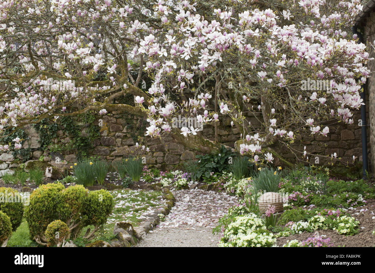 Old magnolia tree in blossom and primroses in spring at Godolphin ...