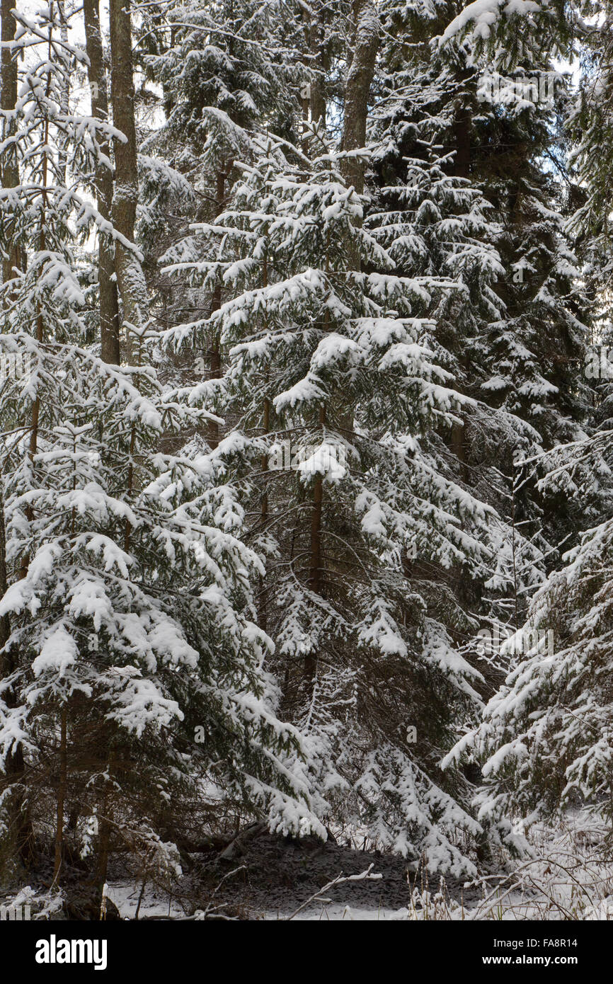 Winter landscape of natural forest with juvenile spruce trees snow wrapped,Bialowieza Forest,Poland,Europe - Stock Image