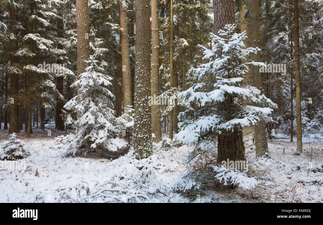 Winter landscape of natural forest with pine trees trunks and spruces,Bialowieza Forest,Poland,Europe - Stock Image