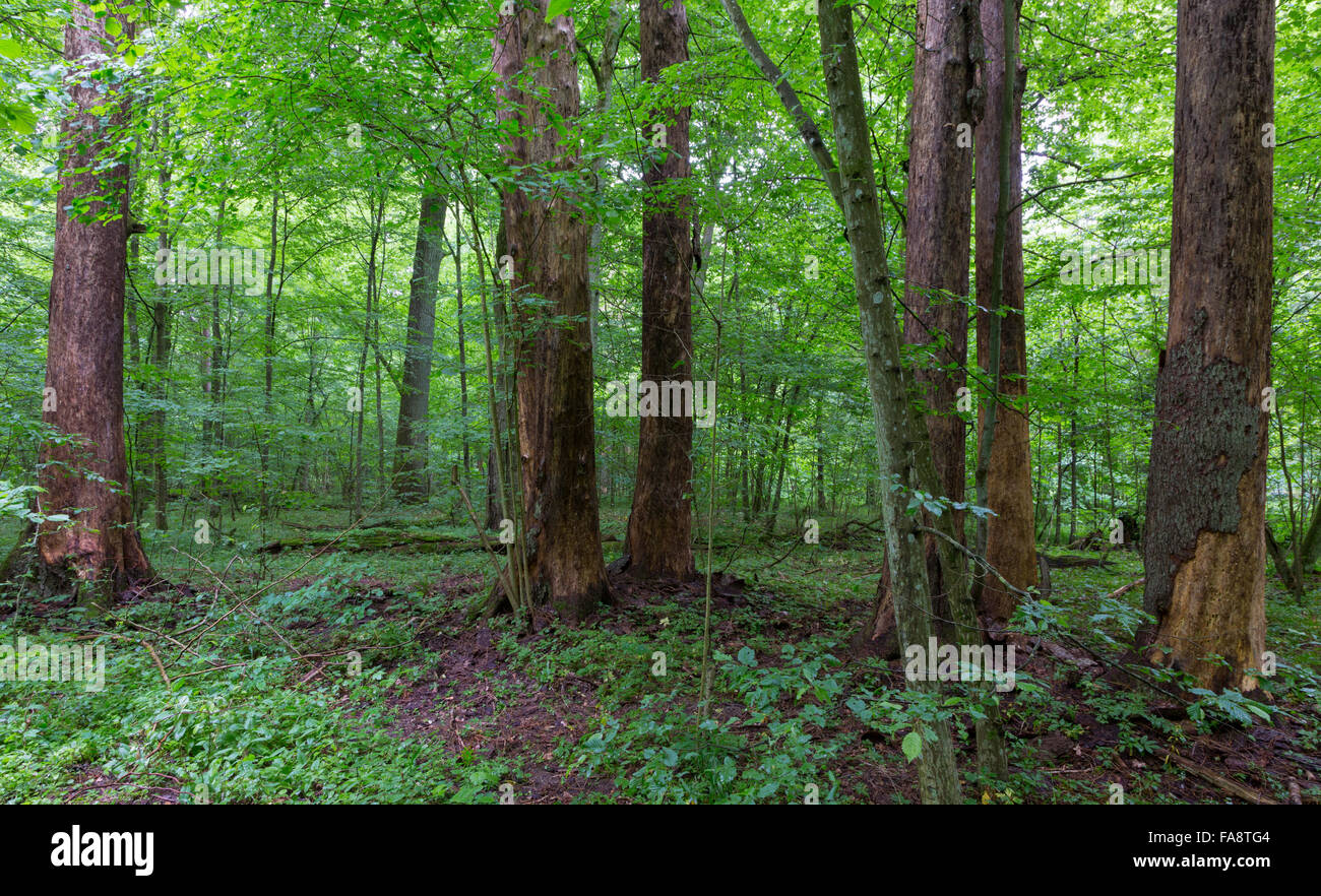 Barkless dead spruces in old summertime deciduous stand of Bialowieza Forest,Bialowieza Forest,Poland,Europe - Stock Image