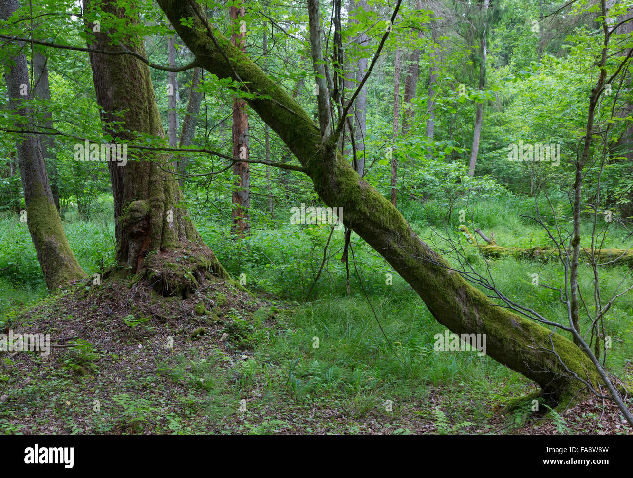 Old bent hornbeam trees in autumnal landscape of primeval deciduous stand of Bialowieza Forest - Stock Image