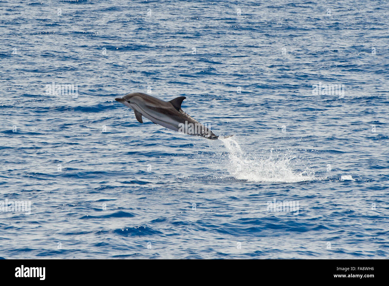 Striped Dolphin, Stenella coeruleoalba, breaching high in the air, Azores, Atlantic Ocean. - Stock Image