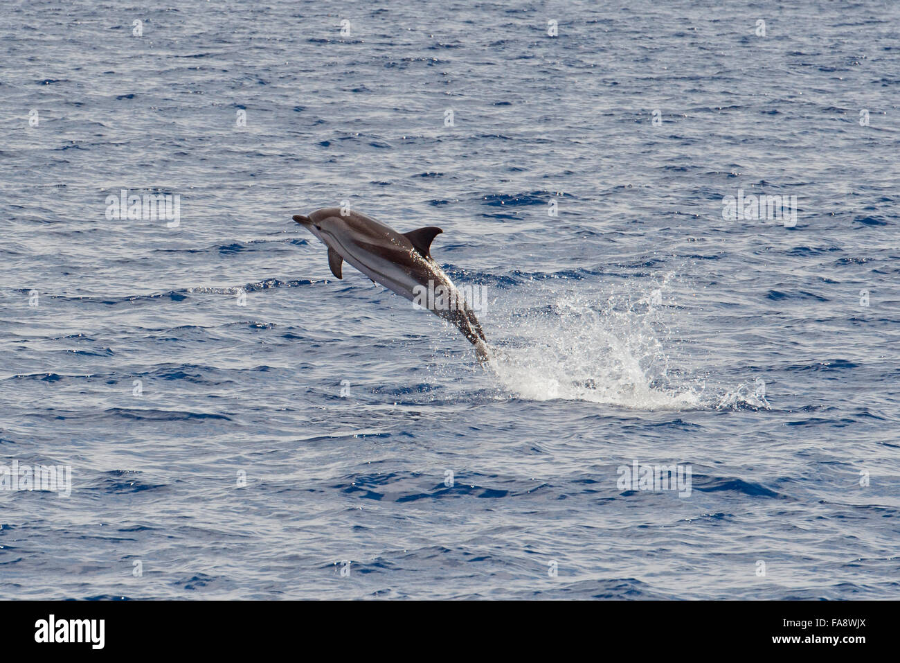 Striped Dolphin, Stenella coeruleoalba, breaching high in the air, Azores, Atlantic Ocean. - Stock Image
