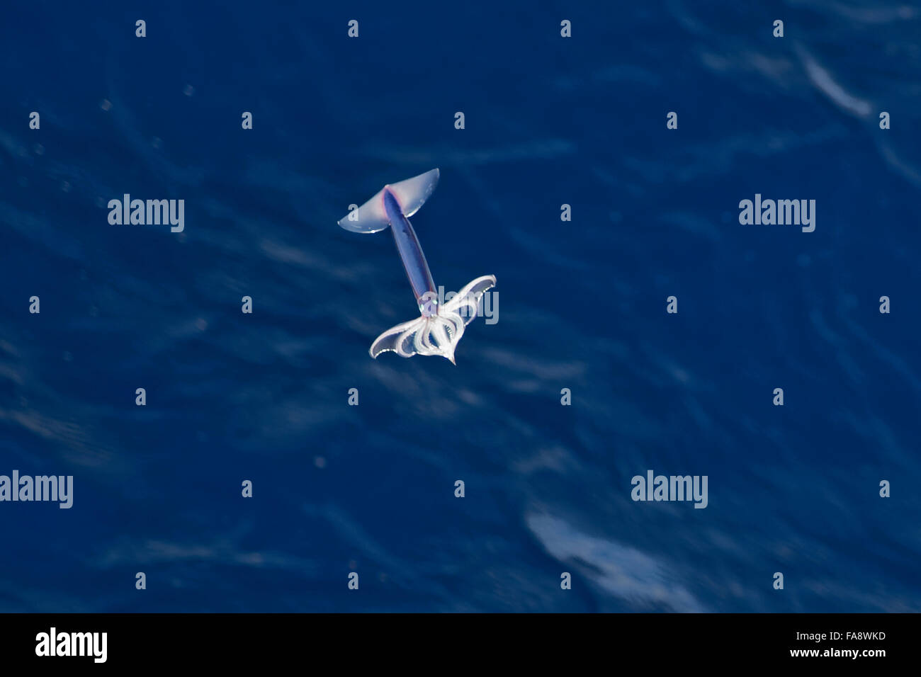 Very rare image of a Neon Flying Squid (Ommastrephes bartramii) in mid-air, South Atlantic Ocean, NOT a digital - Stock Image